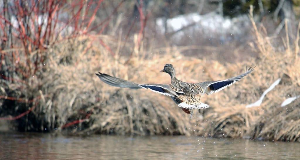 Annonce de l'oiseau emblème de Ruisseau Jackson &  Assemblée générale annuelle